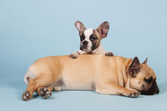 French bulldogs laying on blue background Royalty Free Stock Photography