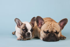 French bulldogs laying on blue background Royalty Free Stock Photo