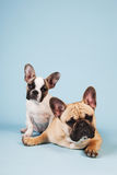 French bulldogs laying on blue background Stock Photos