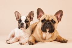 French bulldogs laying on cream background Stock Images