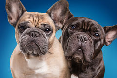French bulldogs  over blue background Royalty Free Stock Photos