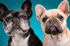 French bulldogs  over blue background Stock Photography