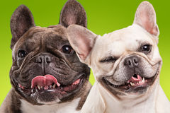 French bulldogs  over green background Royalty Free Stock Photos