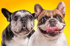 French bulldogs  over orange background Stock Photo