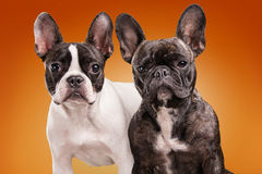 French bulldogs  over orange background Royalty Free Stock Image