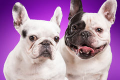 French bulldogs  over purple background Stock Photos