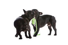 French bulldogs playing stock photos