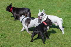 French bulldogs playing Royalty Free Stock Photo