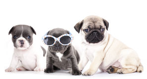 French Bulldogs and pug Royalty Free Stock Photos