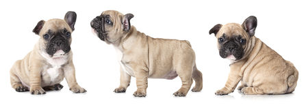 French bulldogs puppies Royalty Free Stock Image