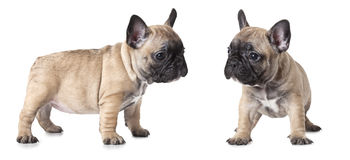 French bulldogs puppies over white Stock Images