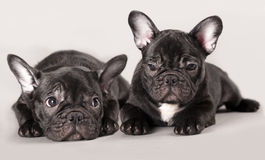 French bulldogs, puppy Royalty Free Stock Photo