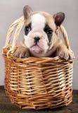 French bulldogs, puppy Stock Photos