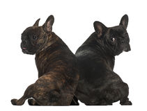 French bulldogs sitting Royalty Free Stock Photography