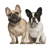 French bulldogs sitting Royalty Free Stock Images
