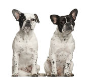 French bulldogs sitting Royalty Free Stock Image