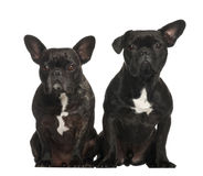 French bulldogs sitting Stock Photos