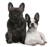 French Bulldogs, sitting and lying Stock Photo