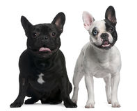 French Bulldogs sitting and standing Royalty Free Stock Photography