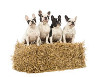 French Bulldogs sitting on a straw bale Stock Images