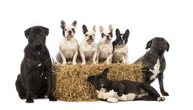 French Bulldogs sitting on a straw bale and crossbreeds sitting and lying next to the bale Stock Images