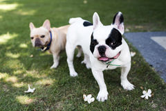 French bulldogs standing and looking Stock Photo