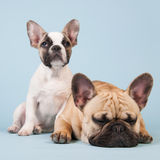 French bulldogs together on blue background Royalty Free Stock Photos
