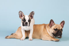 French bulldogs together on blue background Royalty Free Stock Photo