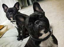 French Bulldogs Stock Image