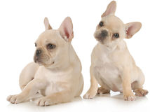 French bulldogs Royalty Free Stock Images