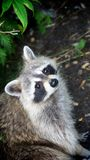 A French Canadian Raccoon Royalty Free Stock Photos