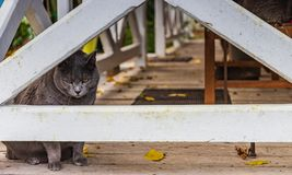 French cat through fence royalty free stock photo