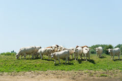French Charolais cattle cows Stock Image