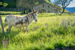 French countryside. Donkey on field in the landscape of the Vercors, Drome royalty free stock image