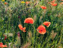 Poppies in the Sun. French countryside painted in red. Early summer has arrived and the countryside in Provence is donning its red dress. Its a symphony in red royalty free stock photo