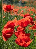 Poppies Closeup in Provence. French countryside painted in red. Early summer has arrived and the countryside in Provence is donning its red dress. Its a symphony royalty free stock image