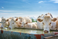 French countryside. Some cows drink water at a drinking spot on the pasture stock image