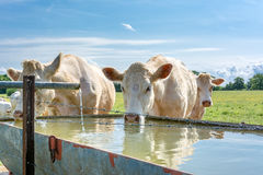 French countryside. Some cows drink water at a drinking spot on the pasture royalty free stock photography