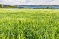 French countryside - Vercors. Cornfield on a windy day in the French Department of Drome royalty free stock photo