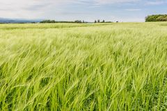 French countryside - Vercors. Cornfield on a windy day in the French Department of Drome stock images