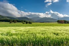 French countryside - Vercors. Cornfield on a windy day in the French Department of Drome with the mountains of Vercors in the background royalty free stock image