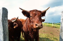 French cow (Auvergne) Royalty Free Stock Photos
