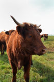 French cow (Auvergne) Royalty Free Stock Photo