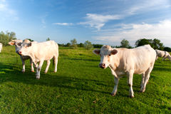 French cows Stock Photography