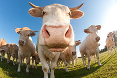 French cows in a field Stock Photo