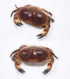 French Crab. On white background Stock Photos