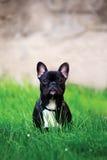 French dog Stock Photos