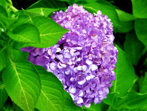 French Flower. Bright Purple Royalty Free Stock Photo
