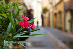 French flower Royalty Free Stock Photo