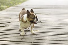 French Bulldog. The French FRENCH BULLDOG is a lively, intelligent and muscular dog with heavy bones, smooth hair, compact structure, medium or small size. The stock photo